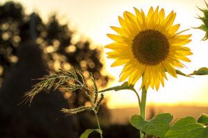 Solo sunflower in field